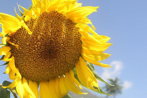 Sunflowers, Helianthus, Sun, Flower, Yellow, Plant