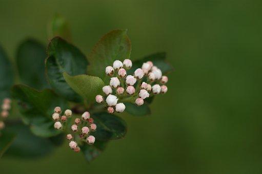 Aronia, Flower, Flower Chokeberry, Spring, Bud, Green