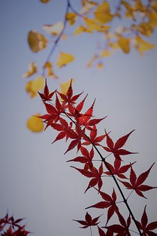 Red Maple, Backlight, Plant