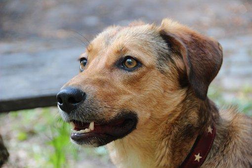 Dog, Hybrid, Mixed Breed Dog, Beige, Fur, Snout