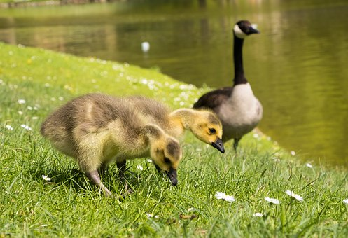 Goslings, Chicks, Canada Geese, Goose, Bird, Nature