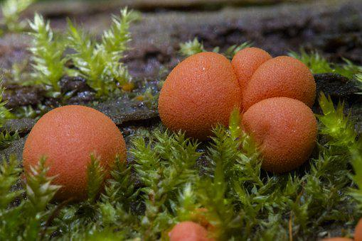 Blood Milk Mushroom, Slime Mold, Sponge, Small Mushroom