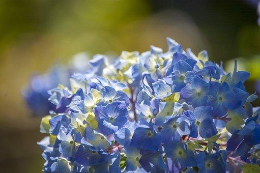 Hydrangea, Flower, Floral, Garden, Spring, Blue