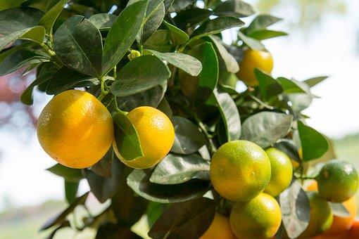 Calamansi, Calamondin, Citrus Fruit, Calamondinorange