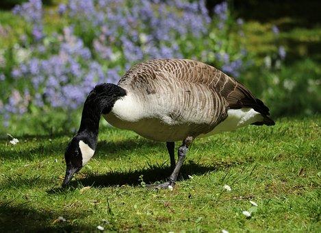 Goose, Canada Goose, Bird, Water Bird, Nature