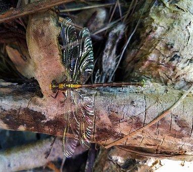Dragonfly, Insect, Bug, Wings, Creek, Deer Creek