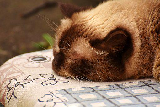 British Shorthair, Sleep, Cute, Cat, Mieze