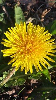 Dandelion, Flower, Spring, Summer, Yellow, Weeds, Plant