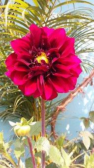 Sweden, Flower, Dahilia