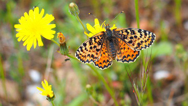 Butterfly, Flower, Nature, Macro