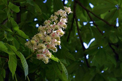 Chestnut, Blooms, Flower, Horse Chestnut, Tree, Foliage