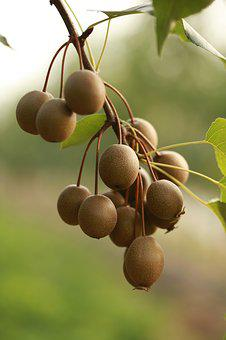 Pear, Fruit, Rootstock