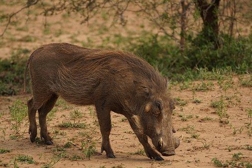Warthog, Game, Reserve, Nature, Africa, Wildlife, Pig