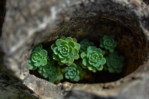 Netřesk, Sempervivum, Flower, Garden, Green, Nature