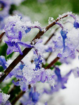 Snow, Ice, Flower, Spring, Snowstorm, Cold, Frost