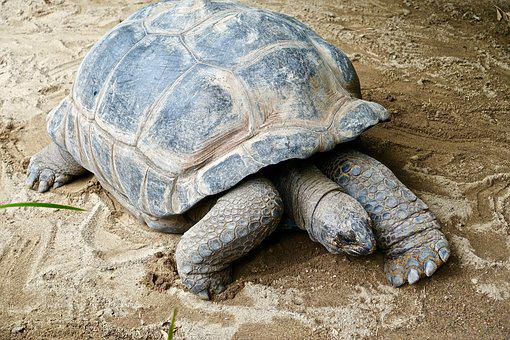 Tortoise, Shell, Giant, Large, Endangered, Grass