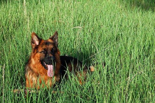 German Shepherd, Friend, Dog, Meadow, Long-haired, Lie