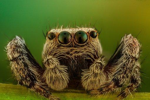 Spider, Macro, Jumper, Nature, Insect, Arachnid