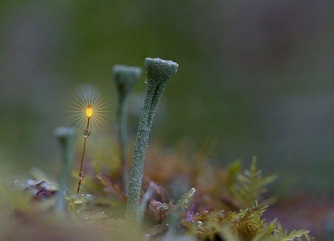Trumpet Lichen, Forest, Moss, Moss Flower