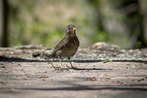 Blackbird, Bird, Natural Thrush, Nature Photo