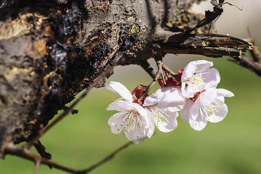 Spring, Flowers, Apricot, Nature, Plant, Color Apricot