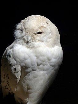 Owl, Barn Owl, Raptor, Snow Owl, Nocturnal, Mystical
