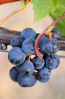 Grape, Blue, Plant, Fruit, Autumn, Garden, Ripe Fruit