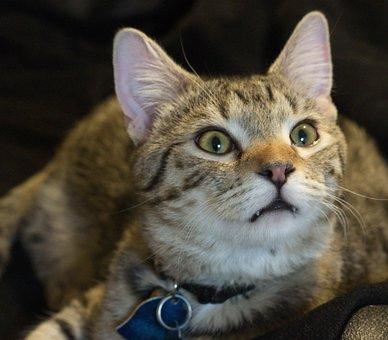 Cat, Rapt, Cat Stare, Cat Face, Intelligent Cat