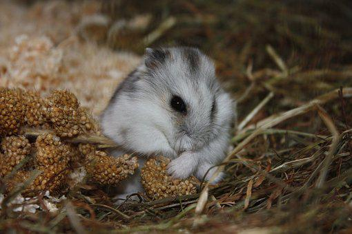 Hamster, Animal, Cute, Rodent, Sweet, Close, Nager