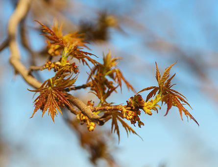 Spring, Maple, Leaves, Young, Plant, Greens, Nature