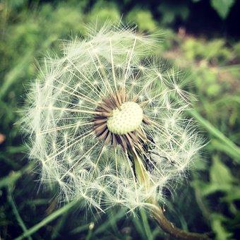 Dandelion, Clock, Flower, Summer, Spring, Weed, Nature
