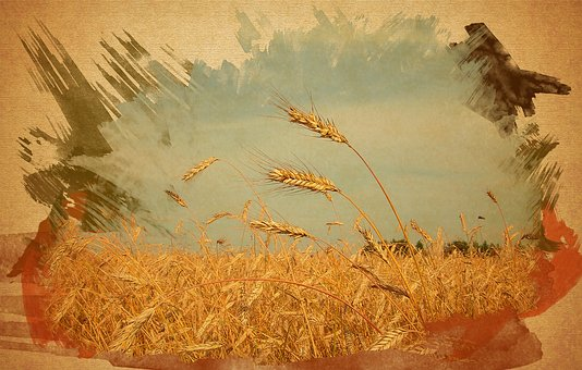 Grain Field, Wheat, Picture, Three Spikelets