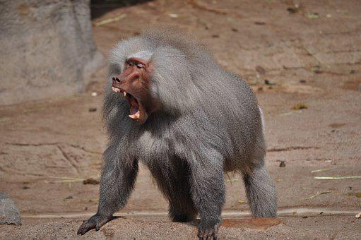 Baboon, Tooth, Roar, Area
