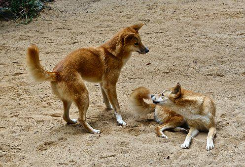 Dingo, Wild, Australian, Dog, Predator, Pair, Canine