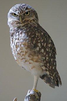 Burrowing, Owls, Bird, Animals, Bottom Dwellers