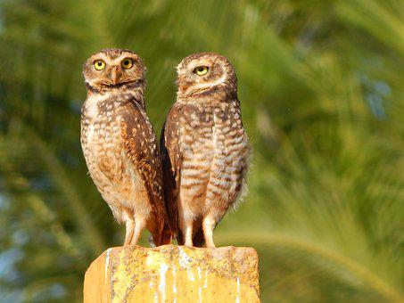 Double Owls, Bird Of Prey, Burrowing Owl
