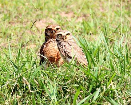 Owls, Burrowing Owl, Casal, Nest, Hole, Bird Of Prey