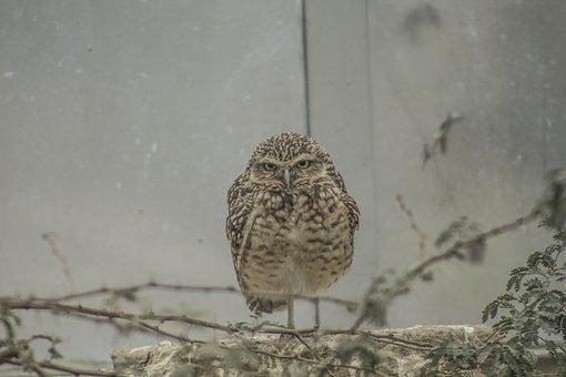 Owl, Zoo, Burrowing, Angry, Bird, Grumpy, Animal