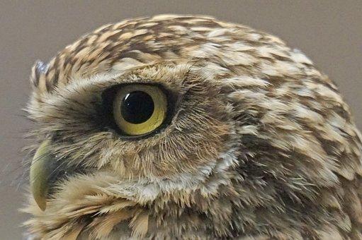 Bird, Owl, Burrowing, Bottom Dwellers