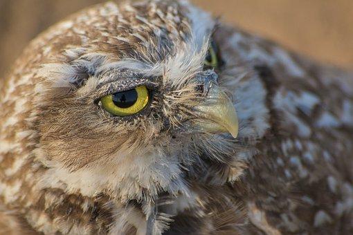Burrowing Owl, Owl, Ground Owl, Brown Owl, Bird