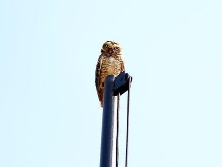 Owl, Burrowing Owl, Natural Background, Bird Of Prey