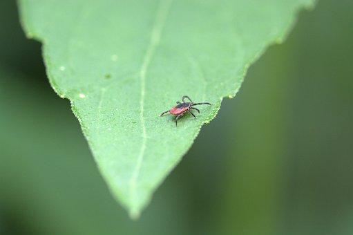 Common Wood Bock, Deer Tick, Tick, Arachnid
