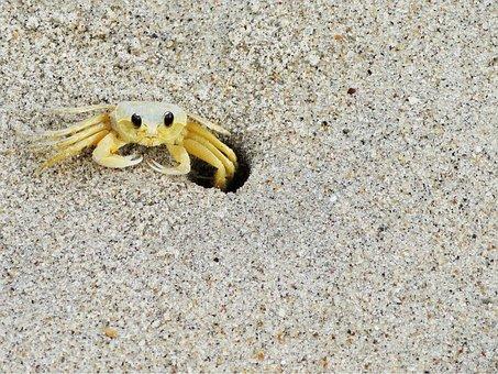 Nature, Siri, Sand, Beach, Mar, Life, Animal, Crab