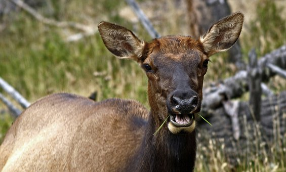 Elk, Female, Wild, Mammal, Deer, Cervidae, Cervus