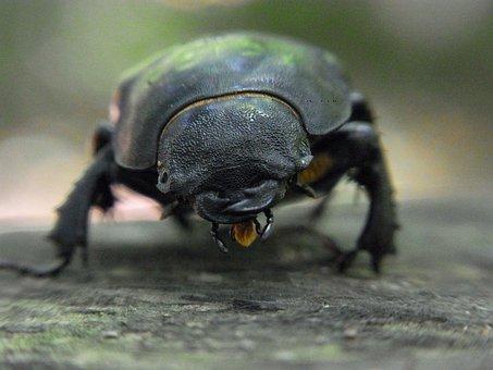 Beetle, Stag Beetle, Lucanus Servus, Female, Insect
