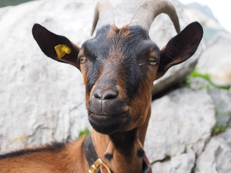 Goat, Brown, Animal, Domestic Goat, Satisfied