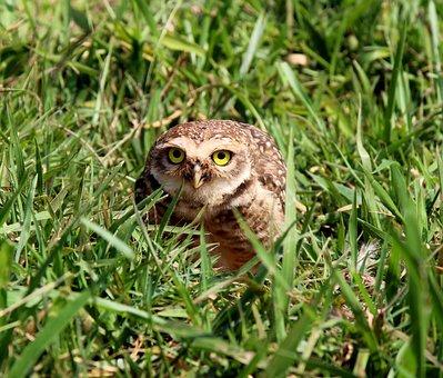 Burrowing Owl, Bird Of Prey, Bird, Wild, Nest, Hole