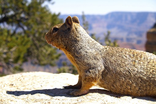 Gopher, Animal, Wild, Rodent, Ground, Hole, Burrowing