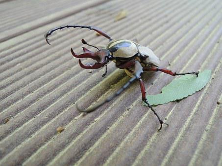 Stag Beetle, Scarab, Insects