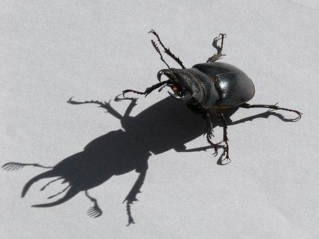 Beetle, Lucanus Cervus, Stag-beetle, Escanyapolls
